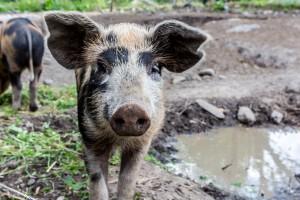 Nyfiken liten gris