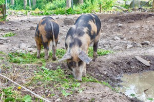 Tre små grisar har blivit två små grisar